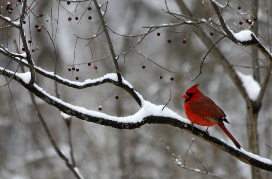 A Vibrant red northern cardinal, Cardinalis cardinalis, sits among the branches during a snow storm. (photo: Becky Gregory)